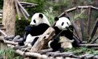 Lovely Panda in Chengdu