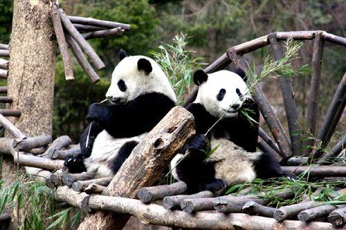 Lovely Panda in Chengdu
