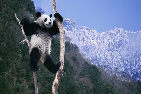 yaan panda