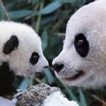Chengdu Panda & Leshan Giant Buddha Day Tour