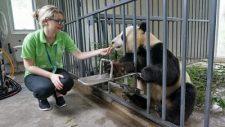 feeding giant panda